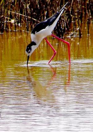 Animais/Pernilongo - Parque Natural da Ria Formosa - Olhão
