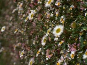 /a flor mais bela está longe,mas tb está nomeu cora
