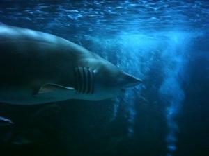 /Tubarão Boi