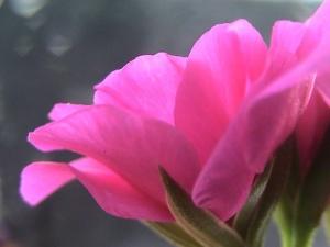 /fiore rosa