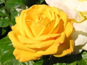 /English rose