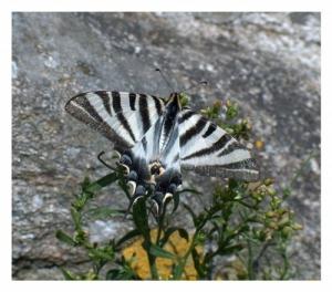 /Borboleta Zebra