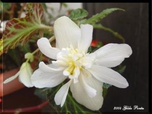 /Begoniaceae - Begónias