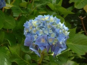 Outros/Hortênsia Azul