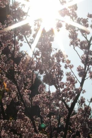 Outros/Cerejeiras em flor