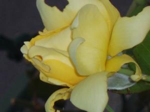 Outros/Uma rosa para ti