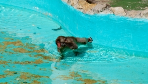 Animais/Macaco sabe nadar IOOH
