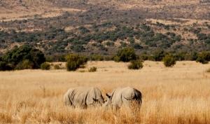 Animais/Rinocerontes brancos