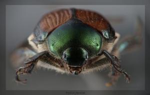 Animais/Escaravelho japonês