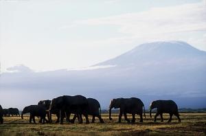 /Elefantes com o Quilimanjaro ao fundo, Amboseli
