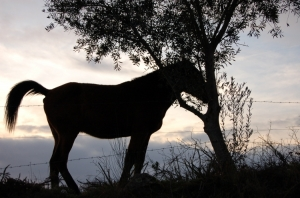 Outros/cavalo e oliveira