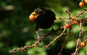 Animais/Ladrão de fruta