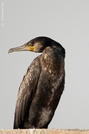 Animais/Corvo Marinho-Phalacrocorax carbo
