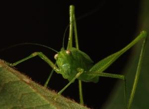 Animais/Gafanhoto em verde