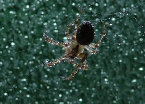 Animais/Aranha à chuva