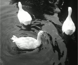 Outros/Patos
