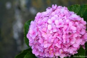 Paisagem Natural/Hortencia Rosa