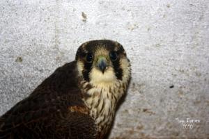 Animais/Falcão- peregrino (falco peregrinos)