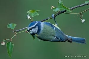 Animais/Chapim Azul (Parus caeruleus)