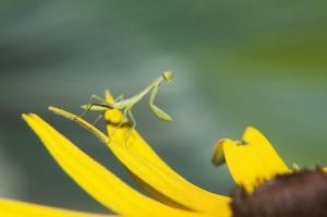 Macro/Louva-a - deus em flor amarela.