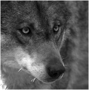 Animais/Lobo