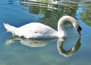 "Animais/""O lago do cisne"""