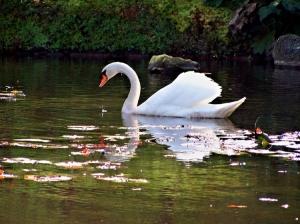 /O Cisne