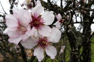 Paisagem Natural/Flor de amendoeira