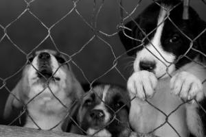 Animais/Cachorros de caçador