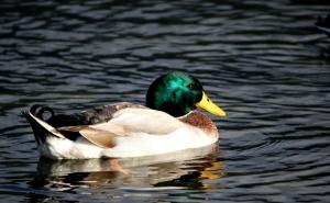 Animais/Duck III