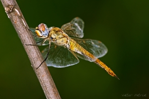 /Golden Dragonfly