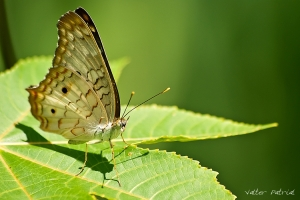 /Leaf Butterfly