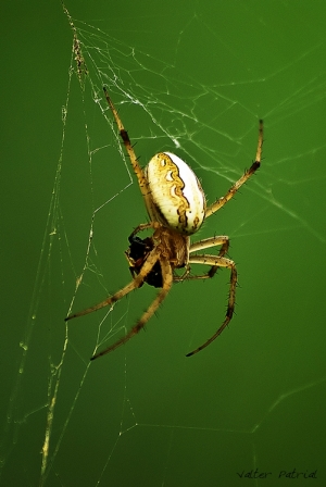 Macro/spider and insect