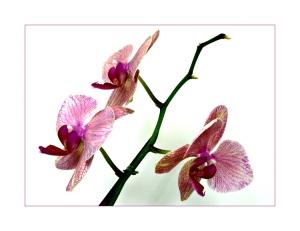 /Orquídea