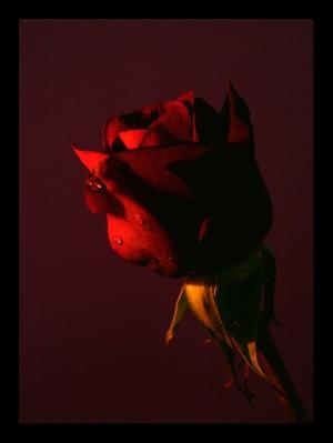 /São rosas senhor....