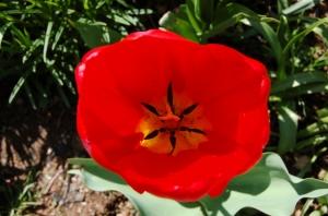Outros/Tulipa