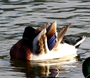 Animais/Duck