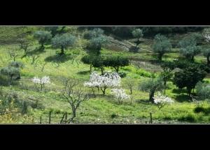 Paisagem Natural/Amendoeiras em flor...#4