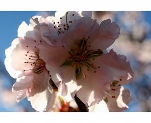 Paisagem Natural/Amendoeiras em flor... #5