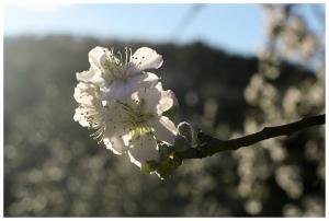 Paisagem Natural/Amendoeiras em Flor... #6