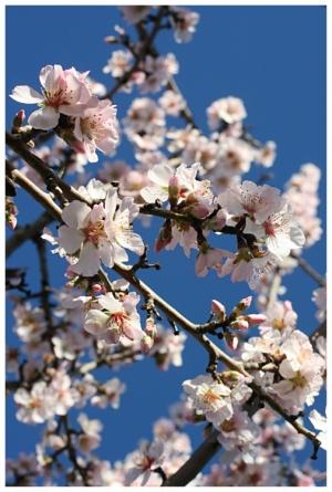 Paisagem Natural/Amendoeiras em Flor... #7