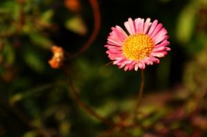 Macro/A beleza das pequenas coisas: Margarida
