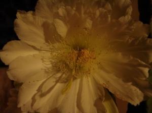 Macro/Flor do Mandacaru (cereus jamacaru)