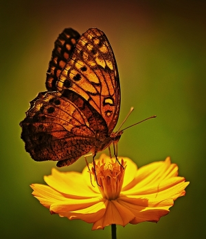 /Simply butterfly