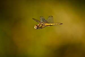 /The flight of the dragonfly