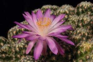 Macro/Mammillaria Saboae - Mexico