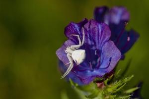 Macro/Aranha branca em flor roxa.