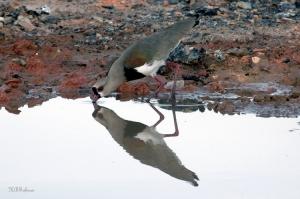 Animais/Espelho dágua