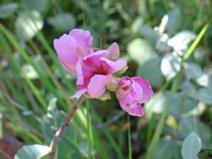 /Flor do Cerrado