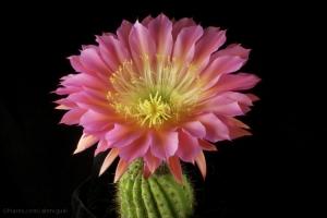 Paisagem Natural/Echinopsis 'Flying Saucer' - Colecao Bob Schick de